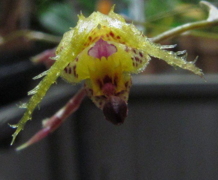 Scaphosepalum fimbriatum Img_3725