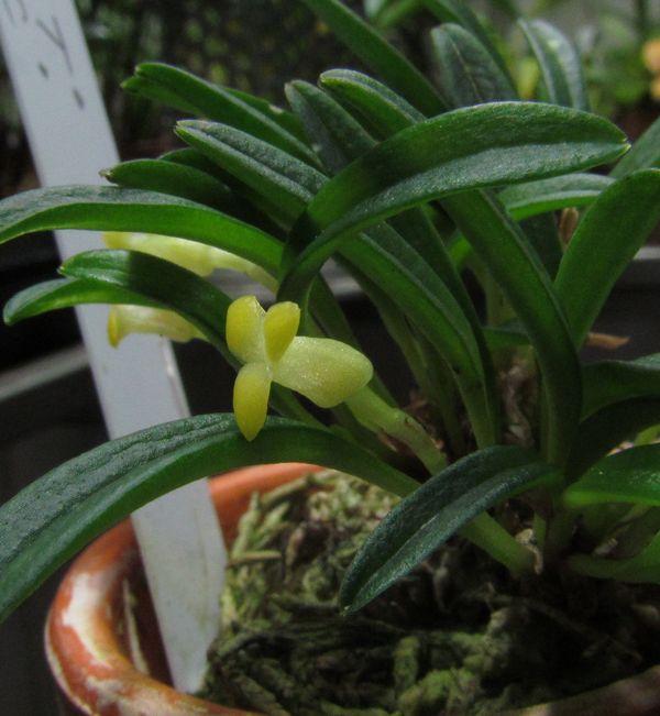 Triotosiphon bangii ( ex. Masdevallia bangii ) Img_3731