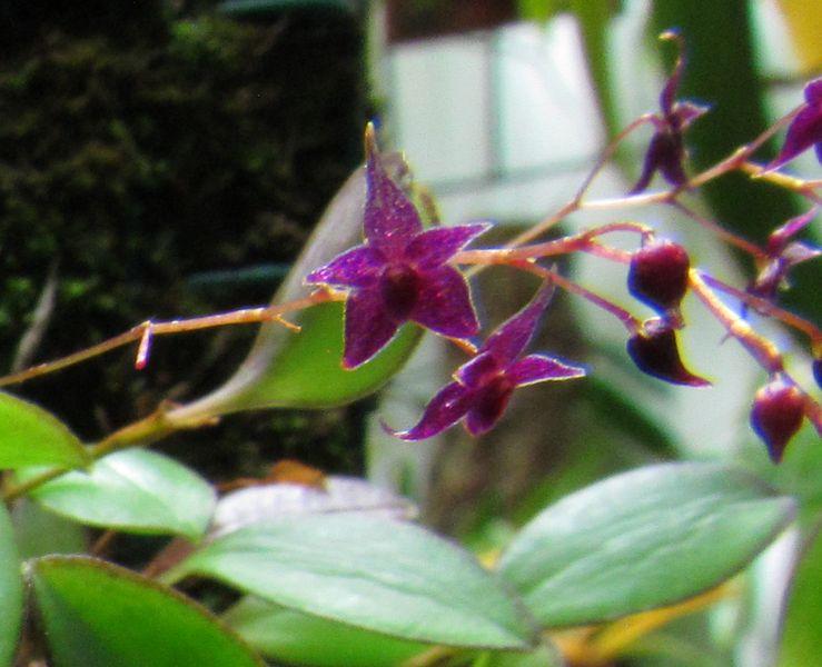Lepanthopsis astrophora Img_3733