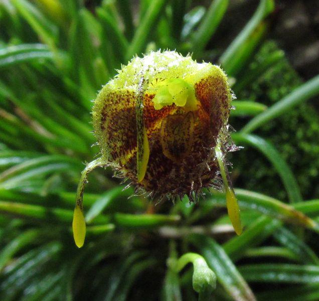 Diodonopsis erinacea Img_3739