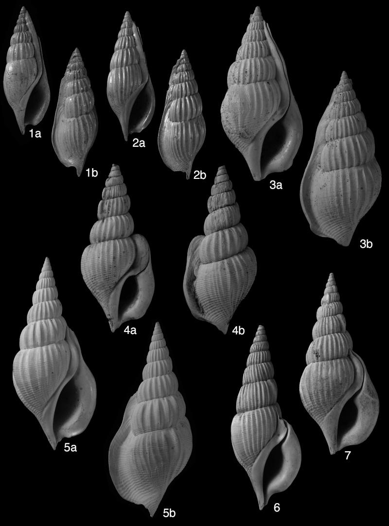 Gastropods Bartonien juvénile  et  adulte Planch10