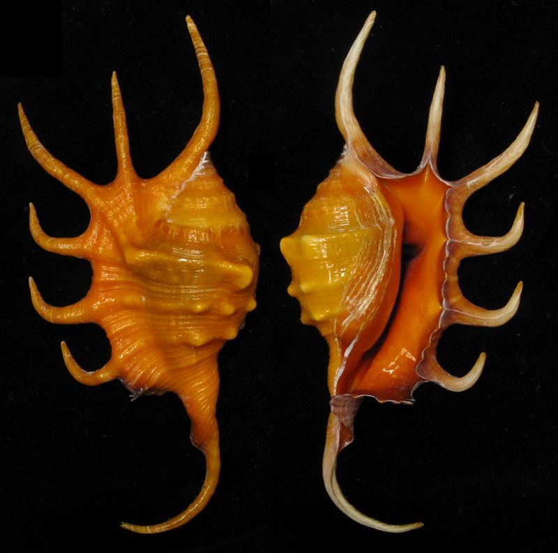Lambis crocata - (Link, 1807) E6053110