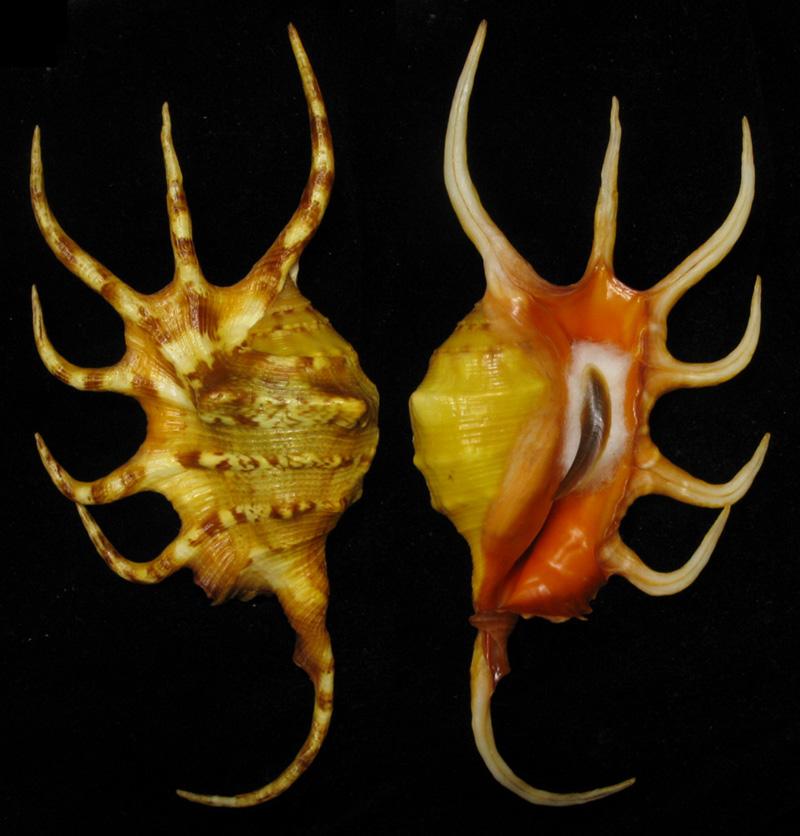Lambis crocata - (Link, 1807) Jaune10