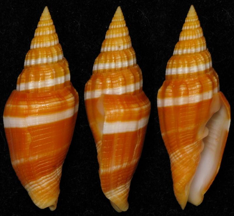 Vexillum vulpecula - (Linnaeus, 1758) Mitrav10