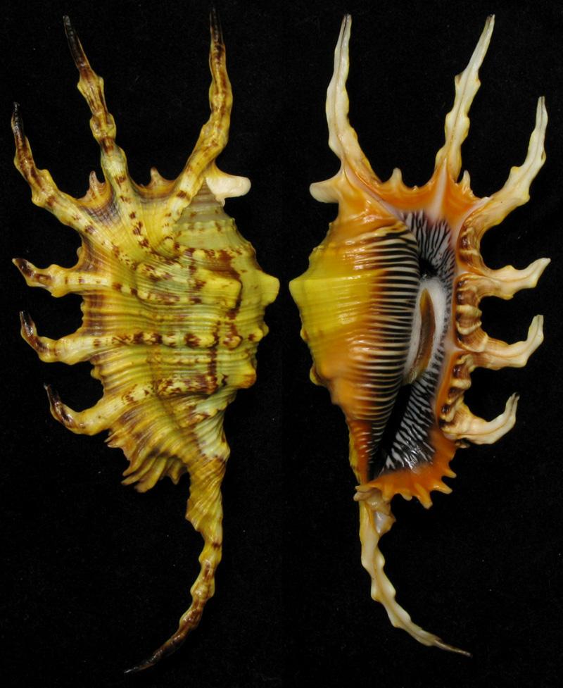 Lambis crocata - (Link, 1807) - Page 2 Scorpi27