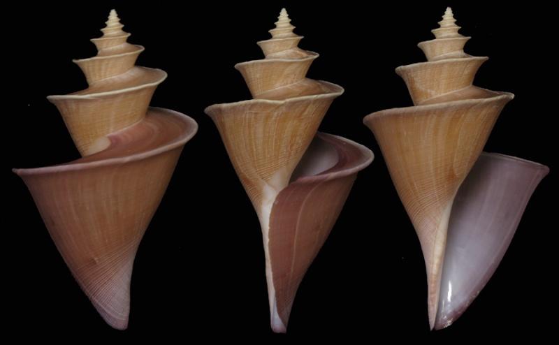 Thatcheria mirabilis - Angas, 1877 T_mirb10