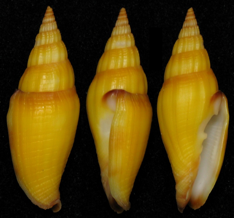 Vexillum vulpecula - (Linnaeus, 1758) Vulpec10