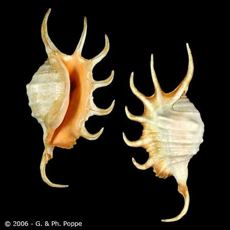 Lambis crocata - (Link, 1807) White10