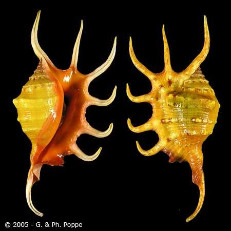 Lambis crocata - (Link, 1807) Yellow10