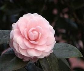 LES FLEURS Rose10