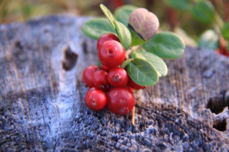 เก็บผลไม้ป่าสวีเดนและฟินแลนด์  Img_4410