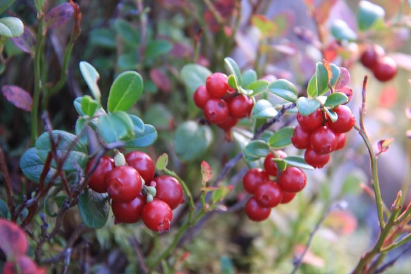 เก็บผลไม้ป่าสวีเดนและฟินแลนด์  Img_4411