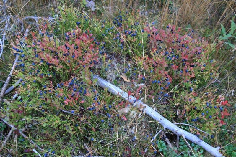 เก็บผลไม้ป่าสวีเดนและฟินแลนด์  Img_4511