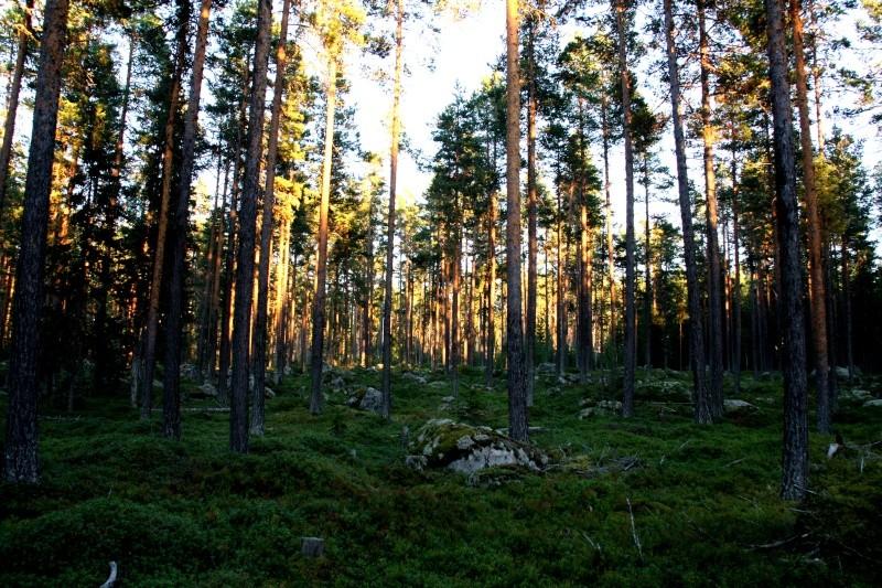 เก็บผลไม้ป่าสวีเดนและฟินแลนด์  Img_4911