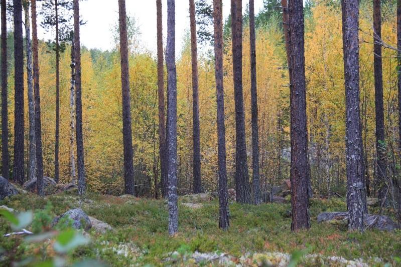 เก็บผลไม้ป่าสวีเดนและฟินแลนด์  Img_5214
