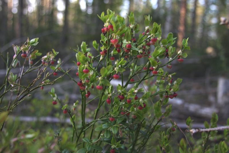 เก็บผลไม้ป่าสวีเดนและฟินแลนด์  Img_7611