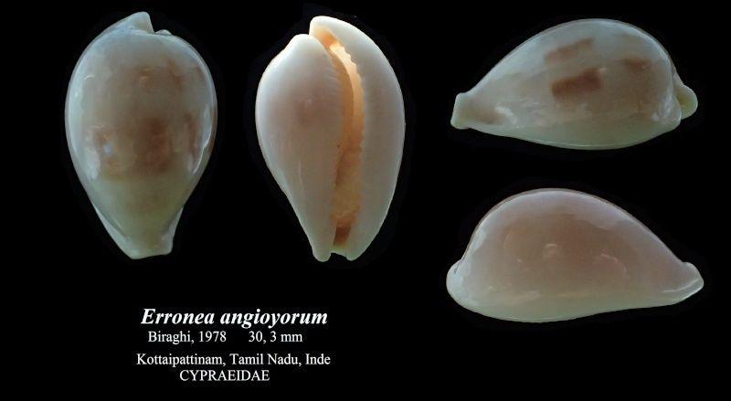 Erronea angioyorum - Biraghi, 1978  Errone12
