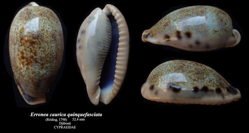 Erronea caurica quinquefasciata - (Röding, 1798)  Errone22