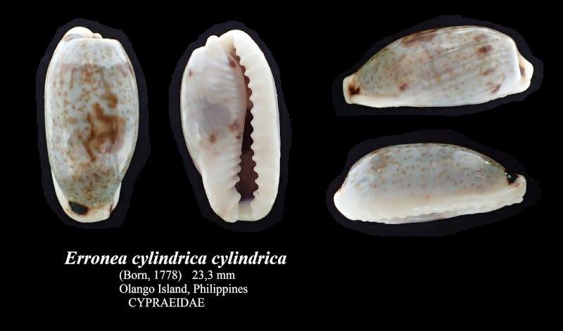 Erronea cylindrica cylindrica - (Born, 1778) Errone32