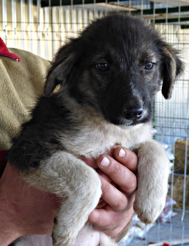 SHAGGY, chiot mâle, né en août 2015 (Pascani) - adopté par Sabine (Belgique) 10155312