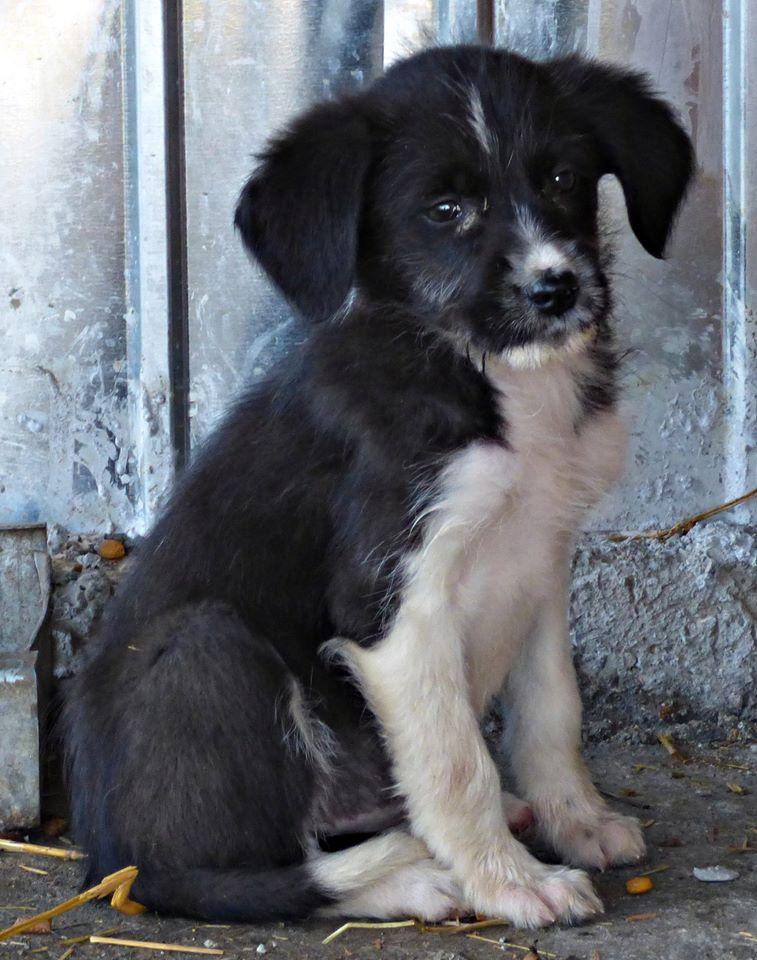 BLACK PEARL, chiot femelle, née en juin 2015 (Pascani)-REMEMBER ME LAND - adoptée par Sonia dans le 57 11666210