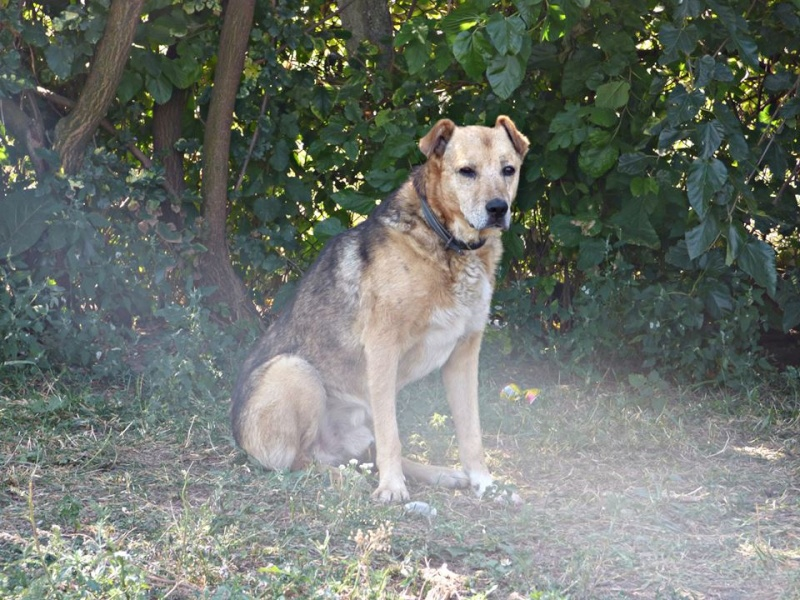 SIMBA, mâle âgé croisé berger taille moyenne né env 2005 (PASCANI)-En fourrière - Page 2 11960110