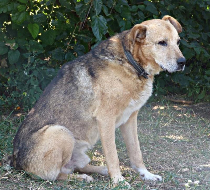 SIMBA, mâle âgé croisé berger taille moyenne né env 2005 (PASCANI)-En fourrière - Page 2 11988310