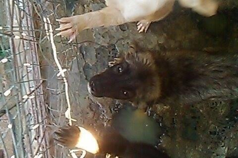 Stitch - STITCH - mâle, croisé berger né en août 2015 - adopté par Claire et Franck (67) 12064410