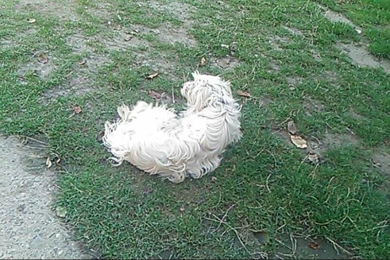 BELLE, femelle, croisée Labrit, 8/10 kg, (Pascani)-En pension chez Lucian ADOPTE PAR LUCIAN-DCD - Page 2 12071310