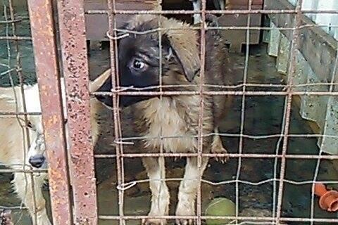 Stitch - STITCH - mâle, croisé berger né en août 2015 - adopté par Claire et Franck (67) 12071710