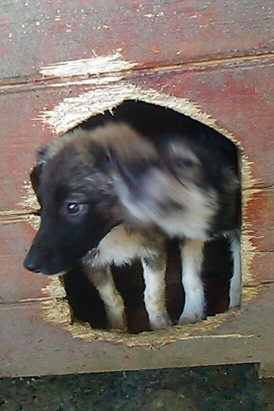 Stitch - STITCH - mâle, croisé berger né en août 2015 - adopté par Claire et Franck (67) 12077310