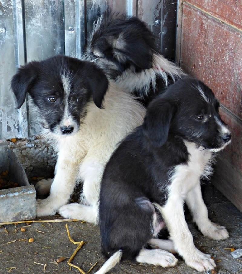 BOOMER : chiot mâle, né en août 2015 (Pascani)-REMEMBER ME LAND 12189012
