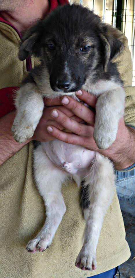 SHAGGY, chiot mâle, né en août 2015 (Pascani) - adopté par Sabine (Belgique) 12190912