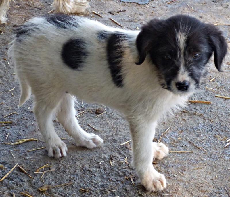 BOOMER : chiot mâle, né en août 2015 (Pascani)-REMEMBER ME LAND 12191212