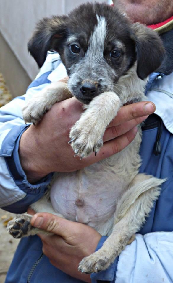 BENJI, chiot mâle, né en août 2015 (Pascani)-REMEMBER ME LAND 12191510
