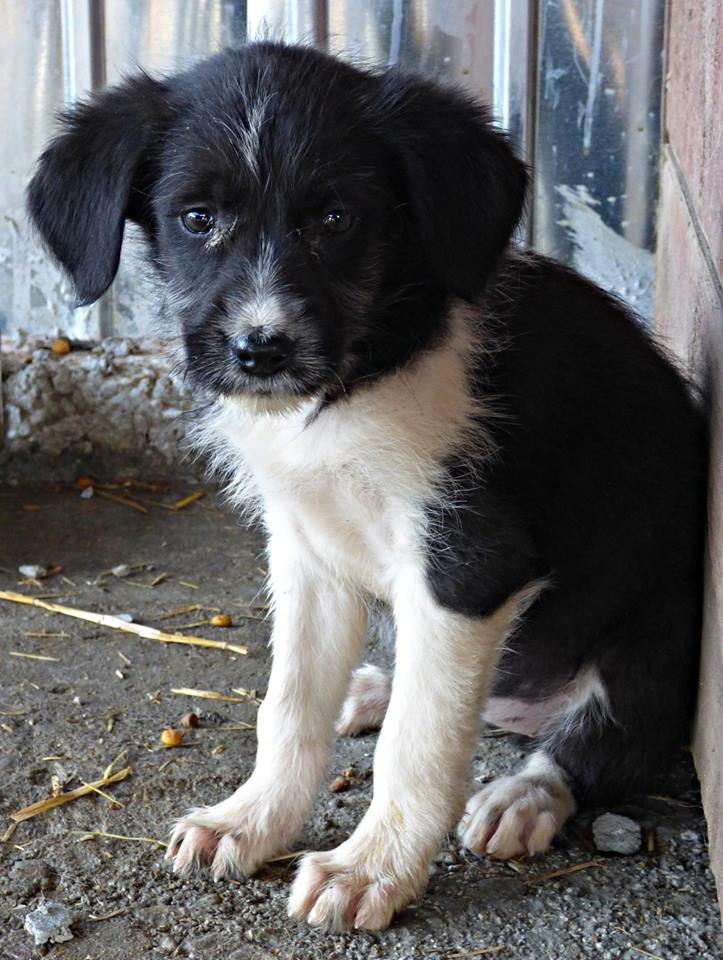 BLACK PEARL, chiot femelle, née en juin 2015 (Pascani)-REMEMBER ME LAND - adoptée par Sonia dans le 57 12193711