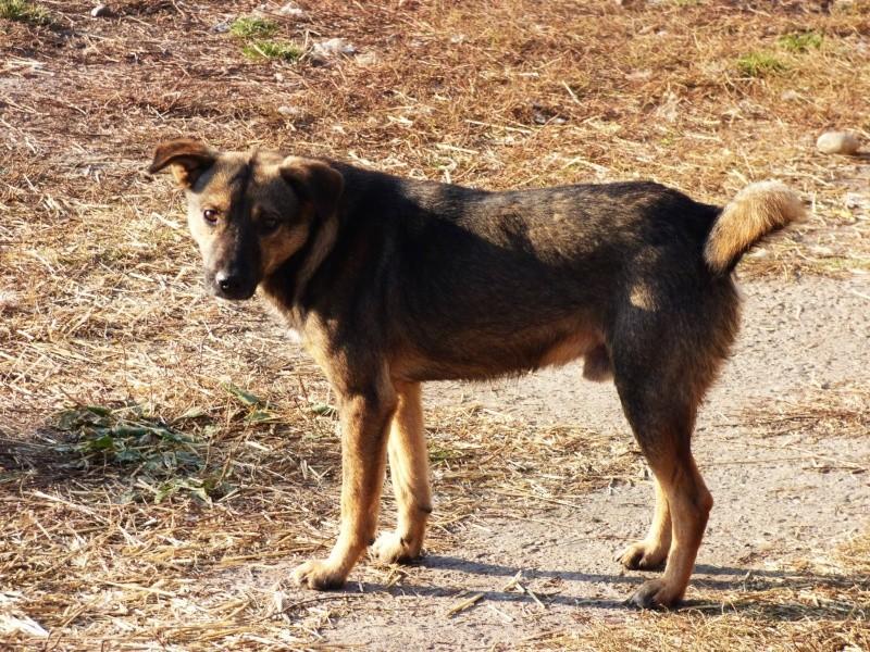 FLOCKY, chiot mâle, croisé, taille moyenne (PASCANI)-En fourrière 12238510