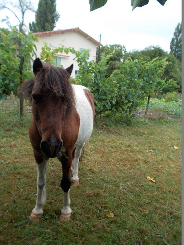 PIPO - Poney OI typé Shetland né en 1990 - adopté en septembre 2009 par Justine et Janine Pipo1110