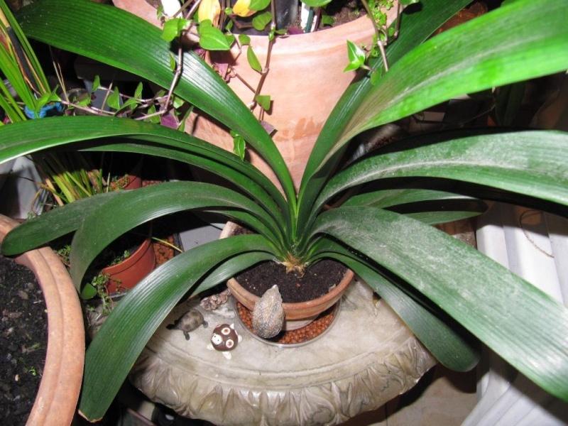 floraison d'un Clivia  00519
