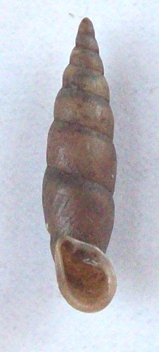Phaedusa corticina (Pfeiffer,1842) 100_5810