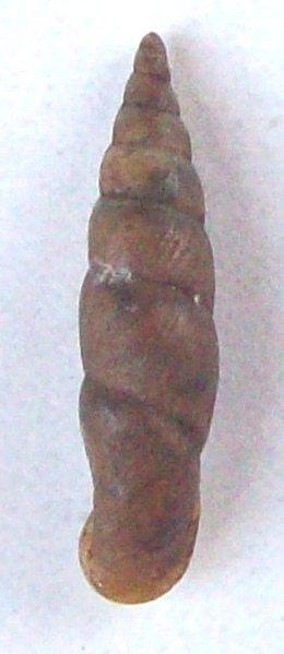 Phaedusa corticina (Pfeiffer,1842) 100_5811