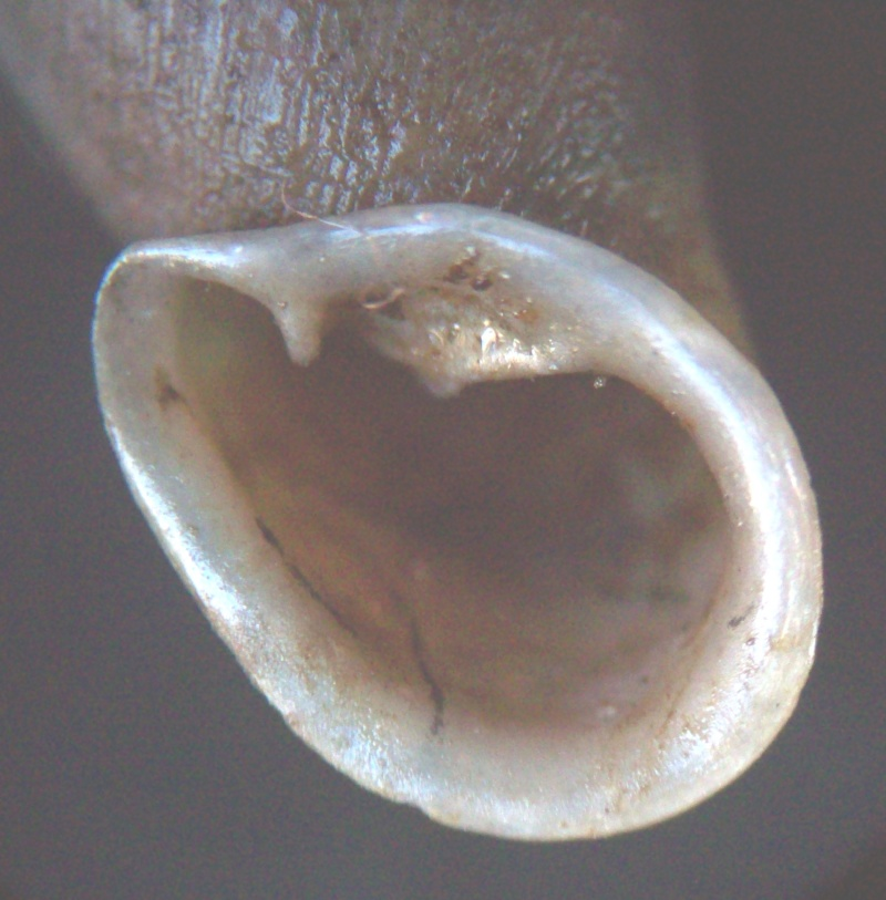 Phaedusa corticina (Pfeiffer,1842) 100_5813
