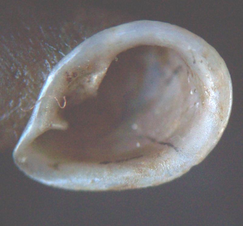 Phaedusa corticina (Pfeiffer,1842) 100_5814