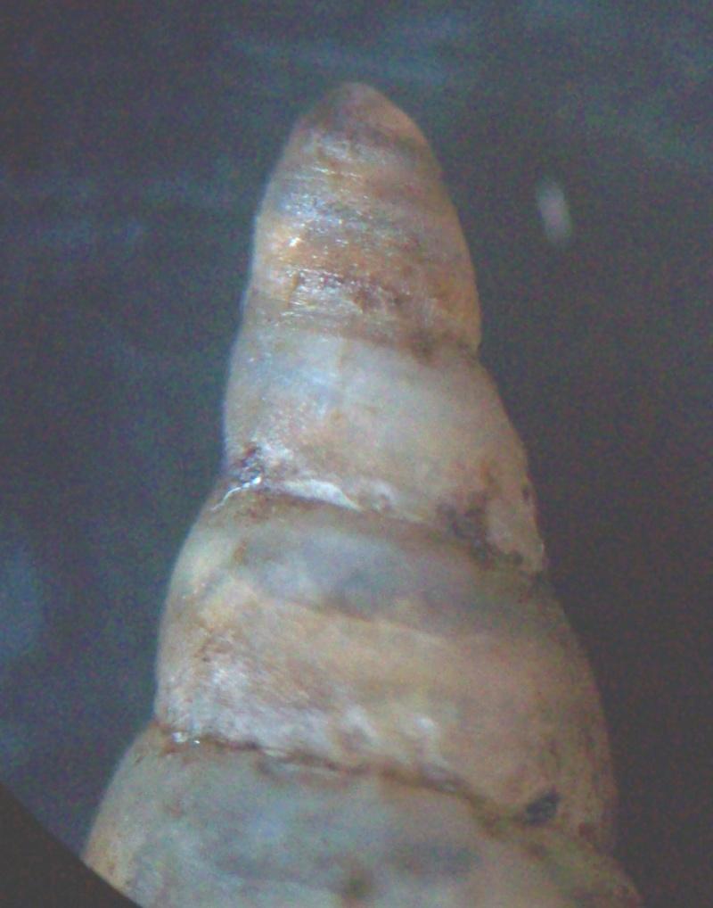 Phaedusa corticina (Pfeiffer,1842) 100_5815