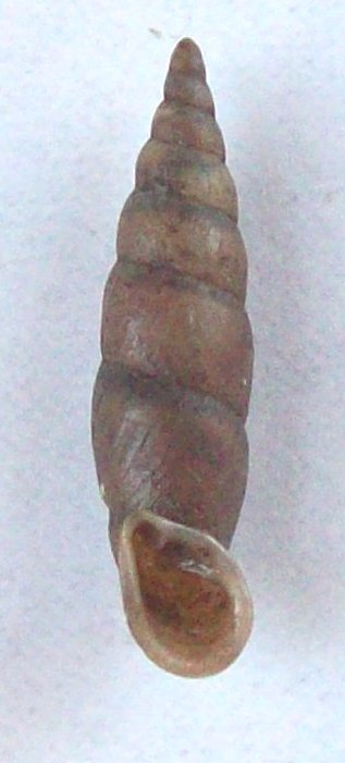 Phaedusa corticina (Pfeiffer,1842) 100_5816