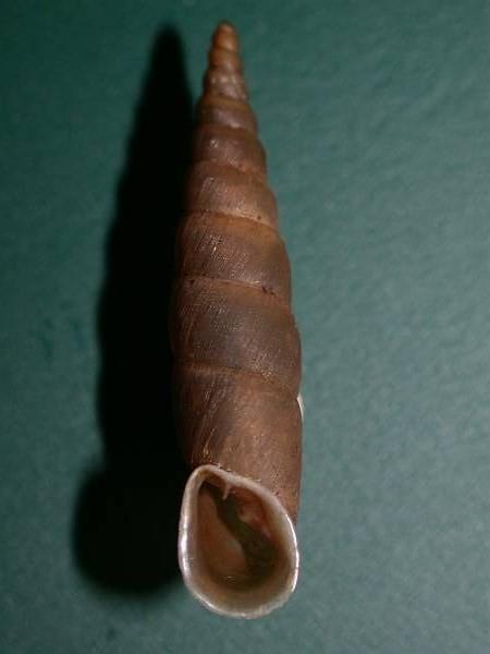 Phaedusa corticina (Pfeiffer,1842) Filico10