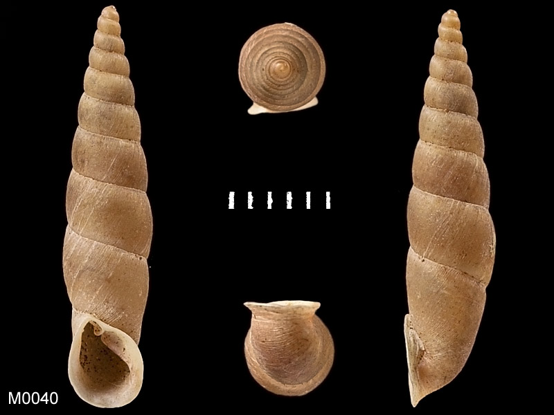 Phaedusa corticina (Pfeiffer,1842) M0040_10