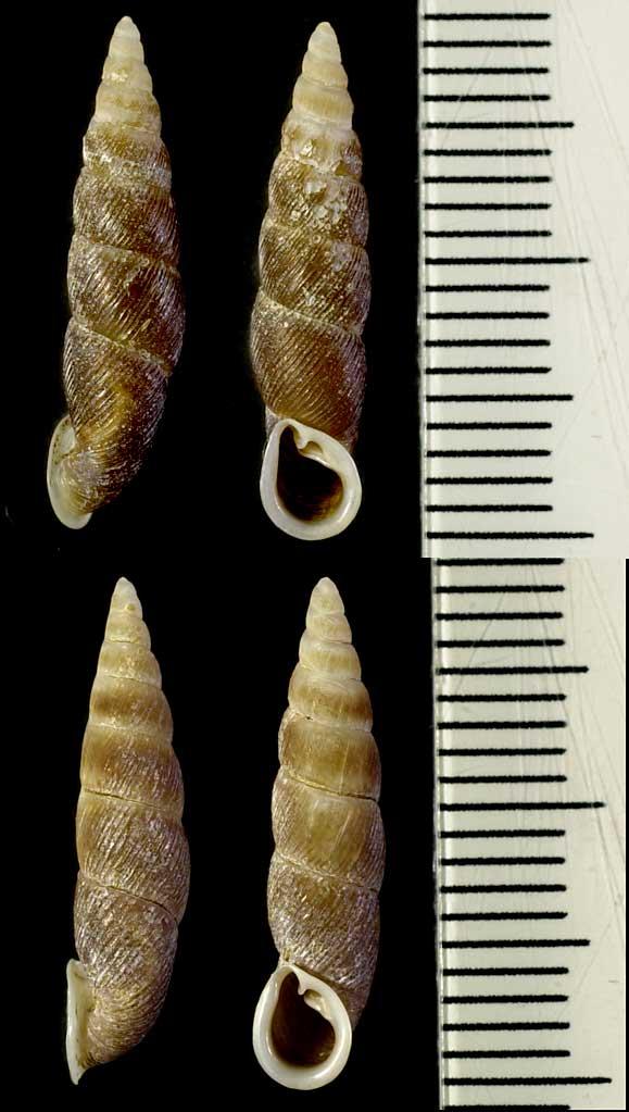Phaedusa corticina (Pfeiffer,1842) Ph_hay11