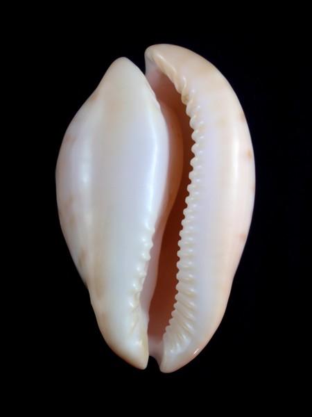Zoila venusta roseoimmaculata - Raybaudi, 1985 - Page 2 Sa_00710