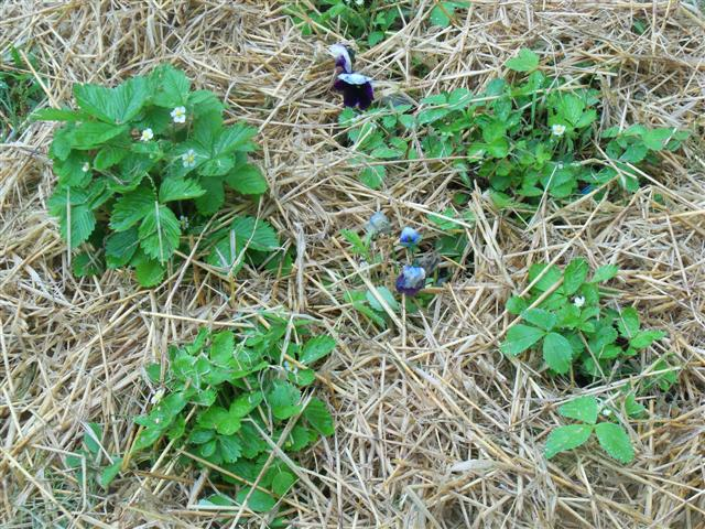 Alpine strawberries are different. 05-24-14